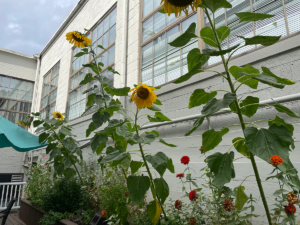 Photo of tall sunflowers in a garden