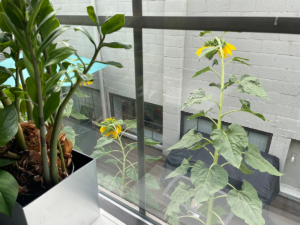 Photo of tall sunflowers from the office kitchen window